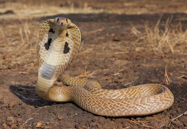 亚洲眼镜蛇