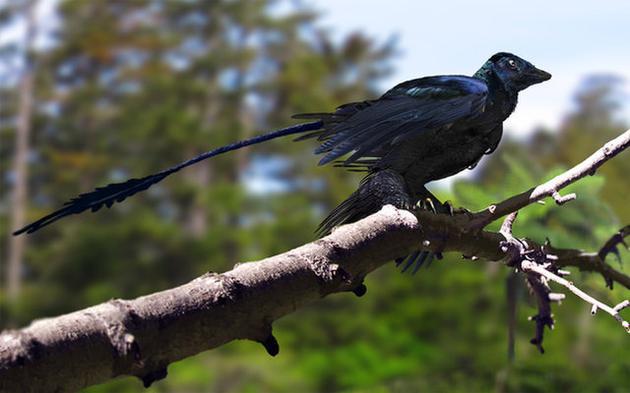 大约在1.3亿年前,小盗龙生活在今天中国东北的辽宁地区,它们具有亮黑色的羽毛,还有彩虹色光泽。