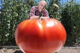世界上最大的番茄,畸形番茄(重达8斤)