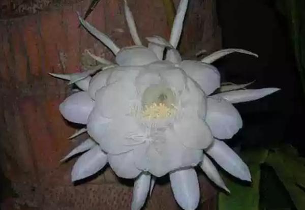 双色球2019076期十大只在夜间开放的花朵 什么花在夜晚开放?