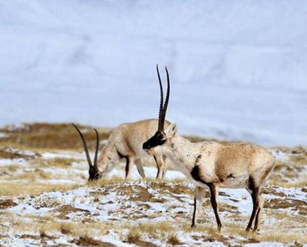 藏羚羊迁徙之谜